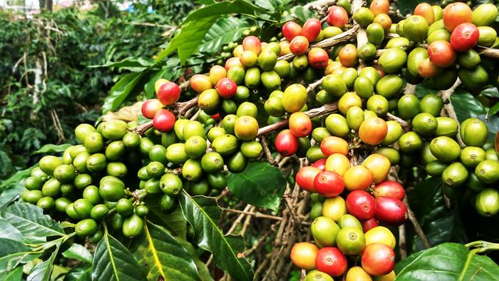 Kahvenin Anavatanı Neresidir ? 1